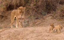 National Geographic. Африканские охотники - Кровные узы (Africa's Hunters - Bound By Blood)
