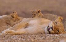 National Geographic. Африканские охотники - Последний шанс леопардов (Africa's Hunters - A Leopard's Last Stand)