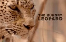 National Geographic. Африканские охотники - Голодный леопард (Africa's Hunters - The Hungry Leopard)
