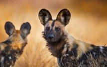 National Geographic. Африканские охотники - Выжить в степях Замбии (Africa's Hunters - Survivors Of The Plains)