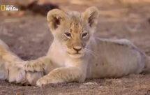 National Geographic. Африканские охотники - Изгой (Africa's Hunters - The Misfit)