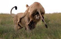 National Geographic. В объективе: Необычное поведение животных - Кровная вражда (Caught In The Act - Blood feud)