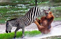 National Geographic. В объективе: Необычное поведение животных - Жизнь на воле (Caught In The Act -  Life in the wild)