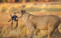 National Geographic. В объективе: Необычное поведение животных - Бойцовский клуб (Caught In The Act - Fight club)