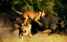 National Geographic. В объективе: Необычное поведение животных - Безумные олени (Caught In The Act -  Crazy deer)