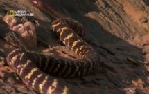 National Geographic. Самые опасные животные мира - Смертельная, коварная команда Австралии (World's Deadliest Animals - Australia)