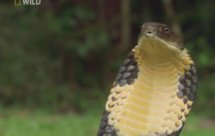 National Geographic. Самые опасные животные мира - Самые опасные обитатели пустыни и саванны (World's Deadliest Animals - Deserts To Grassland)
