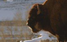 National Geographic. Самые опасные животные мира - Свирепая команда из чащи (World's Deadliest Animals - Forests)
