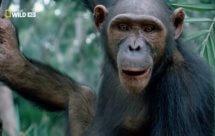 National Geographic. Королевство обезьян: Брат против брата