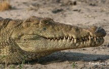 National Geographic. Крокодилы Катумы