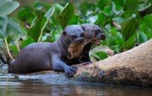 National Geographic. Неизвестная Бразилия: Пантанал без купюр (Secret Brazil - Pantanal uncut)
