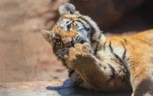 National Geographic. Большие кошки: удивительная семья (Big Cats - An Amazing Animal Family)