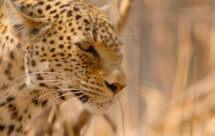 National Geographic. Африканские охотники - 12 серия