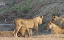 National Geographic. Африканские охотники - 7 серия