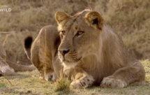 National Geographic. Африканские охотники - 10 серия