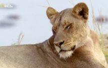 National Geographic. Африканские охотники - 13 серия