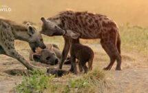 National Geographic. Африканские охотники - 16 серия