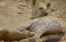 National Geographic. Африканские охотники - 17 серия