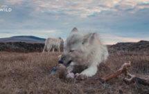 National Geographic. Королевство белого волка - 2 серия