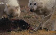 National Geographic. Королевство белого волка - 3 серия