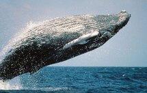 National Geographic. Киты-горбачи: гиганты океанов (Humpbacks. Giants of the Ocean)