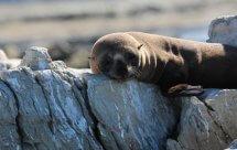 National Geographic. Морские котики. Битва за выживание (Fur Seals. Battle for Suvival)