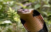 National Geographic. Загадки королевской кобры (Secrets of the King Cobra)