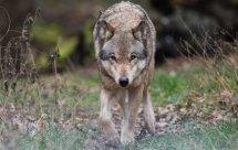 National Geographic. Дикие охотники. Волки и шакалы (Wild Hunters. Wolves and Jackals)